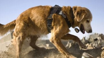 Rudy the Cadaver Dog Sniffing Exercise