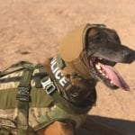 Working dog wearing a protective vest and hearing protection wrapped around his head on a desert backdrop